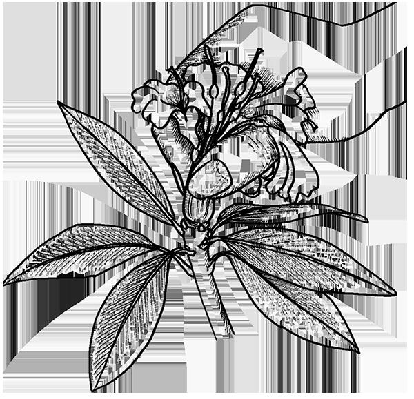 Rhododendron ausbrechen